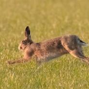 Hare-3.jpg