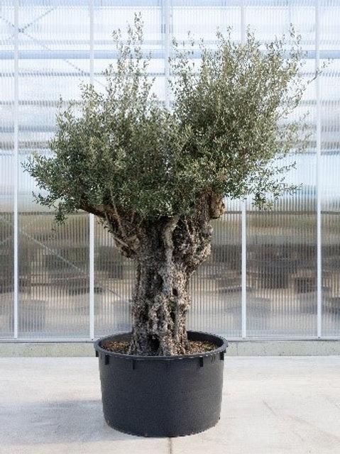 Olive tree - height: 350 cm - pot diameter: 110 cm