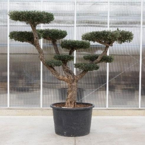Formed olive tree - height: 200 cm - pot: 92 cm diameter