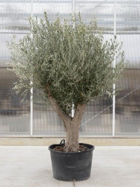 Olive tree - height 200 cm - pot diameter: 70cm
