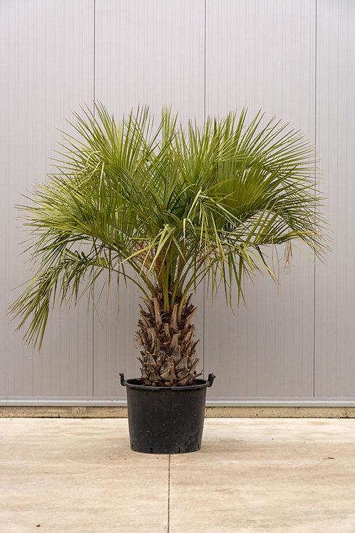 Palm tree - Butia - height: 185 cm - pot diameter: 85 cm