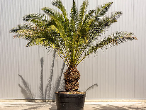 Palm tree - Phoenix canariensis - height: 290 cm - pot diameter: 110 cm