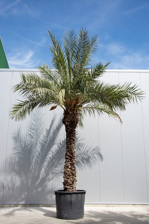 Palm tree - Phoenix dactylifera - height: 600-700 cm - pot diameter: 110 cm