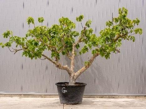 Fig tree - height: 240 cm - pot diameter: 110 cm