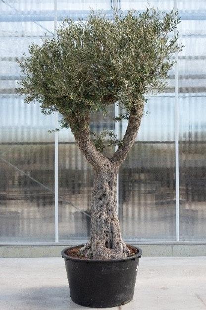 Olive tree - height: 350 cm - pot diameter: 90 cm