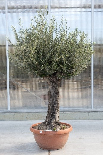 Olive tree - height: 200 cm - pot diamter: 60 cm