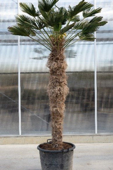 Palm tree - Trachicarpus wagnerianus - height: 170 cm - pot diameter: 60 cm