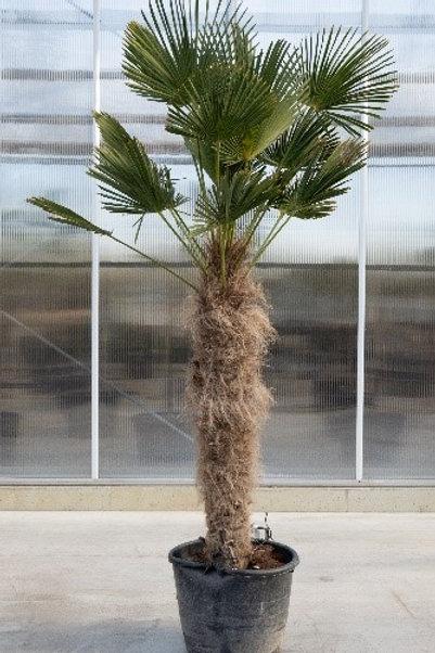 Palm tree - Trachicarpus wagnerianus - height: 140 cm - pot diameter: 50 cm