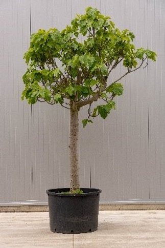 Fig tree - height: 245 cm - pot: 80 cm