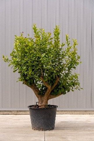 Citrus - height: 170 cm - pot diameter: 60 cm