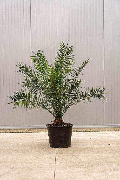 Palm tree - Phoenix canariensis - height: 160 cm - pot diameter: 60 cm