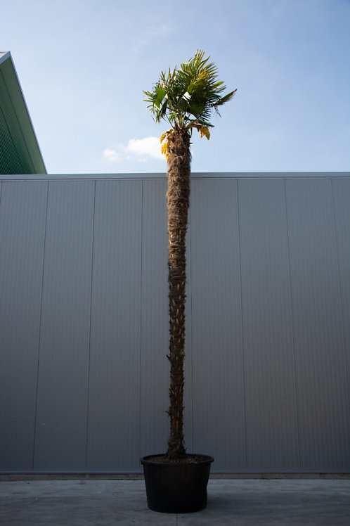 Palm tree - Trachycarpus fortunei - height: 600-700 cm - pot diameter: 100 cm