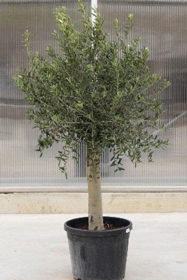 Olive tree - height: 140 cm - pot diameter: 40 cm