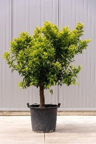Citrus - height: 150 cm - pot diameter: 45 cm