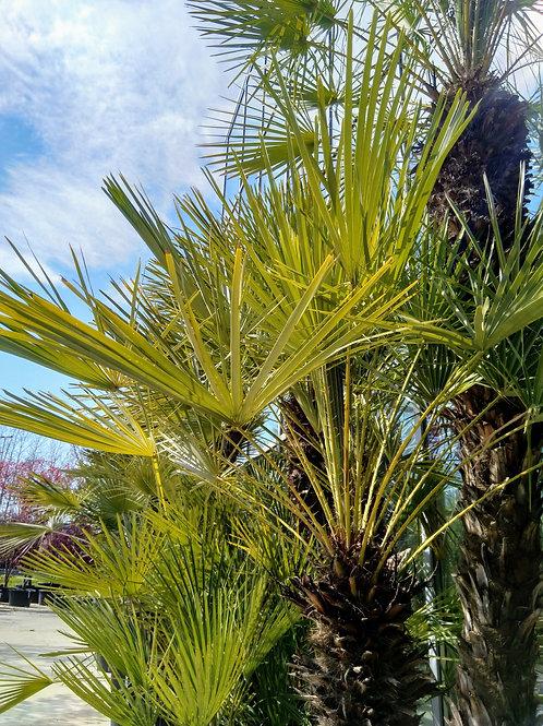 Palm tree - Chamaerops humilis - height: 305 cm - pot: 90 cm