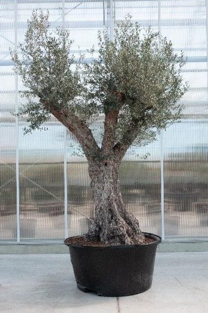 Olive tree - height: 400 cm - pot diameter: 110 cm