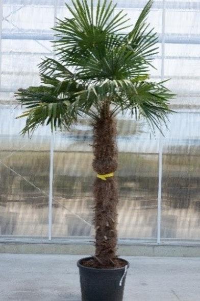 Palm tree - Trachycarpus fortunei - height: 260 cm - pot diameter: 50 cm