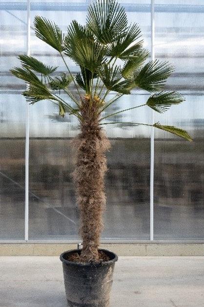 Palm tree - Trachicarpus wagnerianus - height: 160 cm - pot diameter: 60 cm
