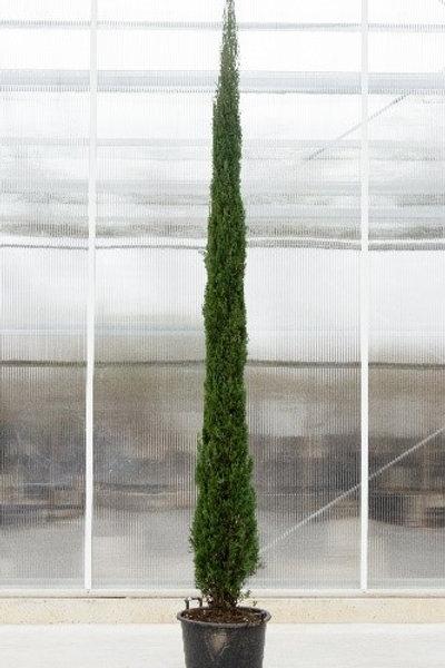 Cupressus tree - height: 300 cm - pot diameter: 60 cm