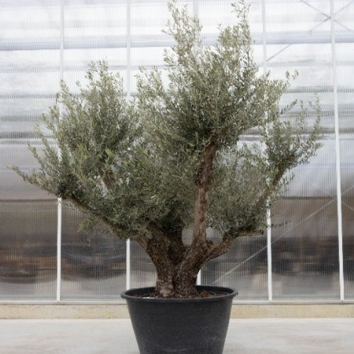 Olive tree - height: 250 cm - pot diameter: 100 cm