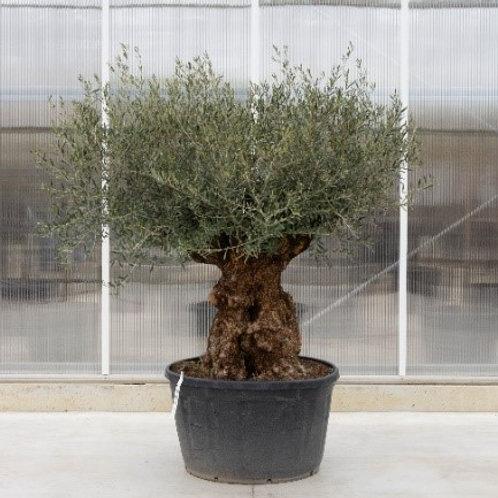 Olive tree - height: 160 cm - pot diameter: 70 cm