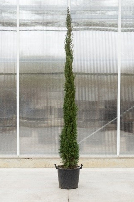 Cupressus tree - height: 205 cm - pot diamter: 40 cm