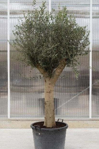 Olive tree - height: 200-250 cm - pot diameter: 60 cm