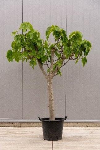 Fig tree - height: 200 cm - pot diameter: 45 cm