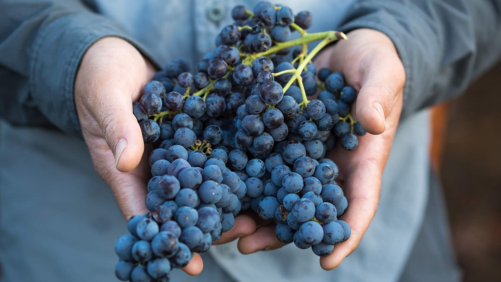 Carignan grapes harvested in the vineyards of Jezreel Valley Winery. Photo by Asaf Ronen.