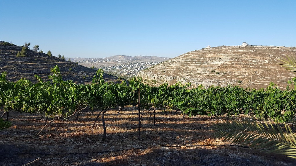 The sun goes down over the vines in Beit El, the settlement named after the biblical site where Jacob had his dream of angels. (courtesy)