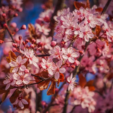 Hunt for Nordic Sakura