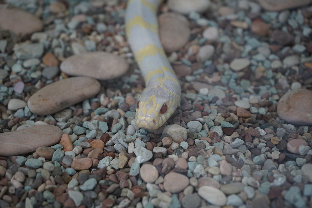 Snake with yellow stripes