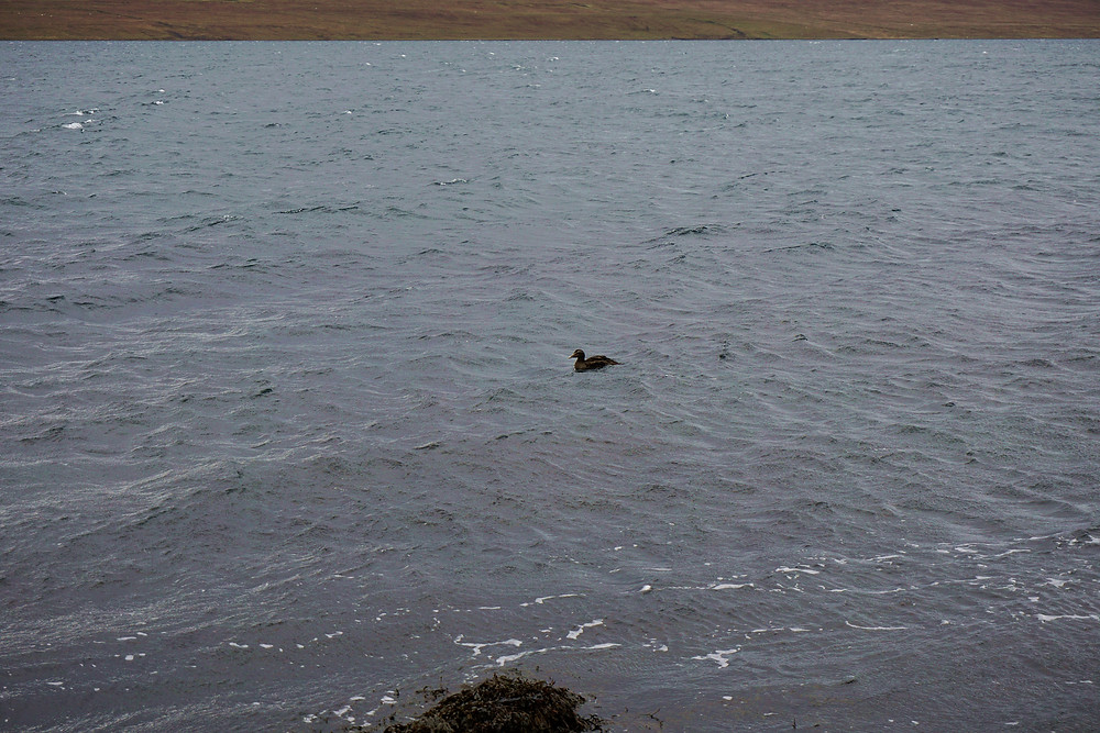 A duck swim on a strong wave.