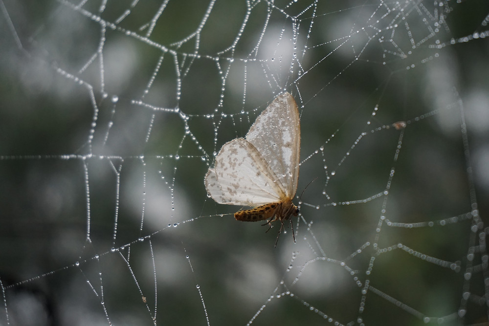 Pity butterfly got trapped in spider web.