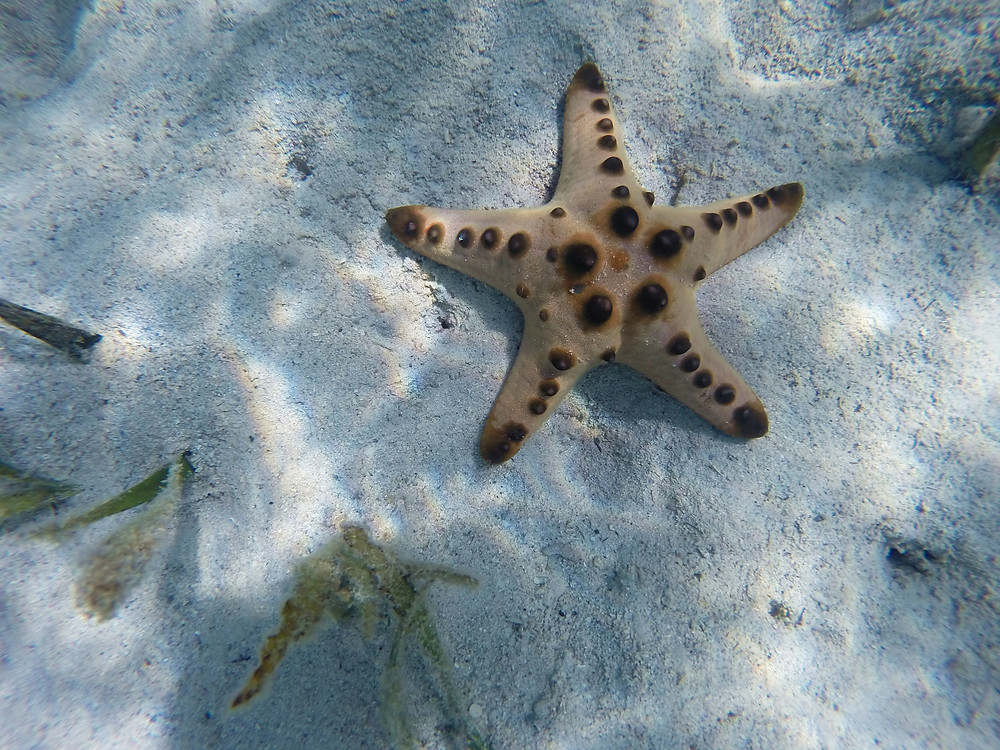 This starfish is quite big in size!