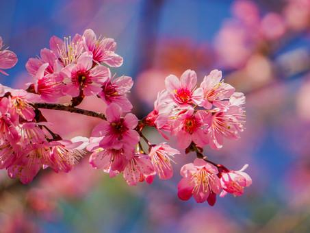 Thai Sakura!