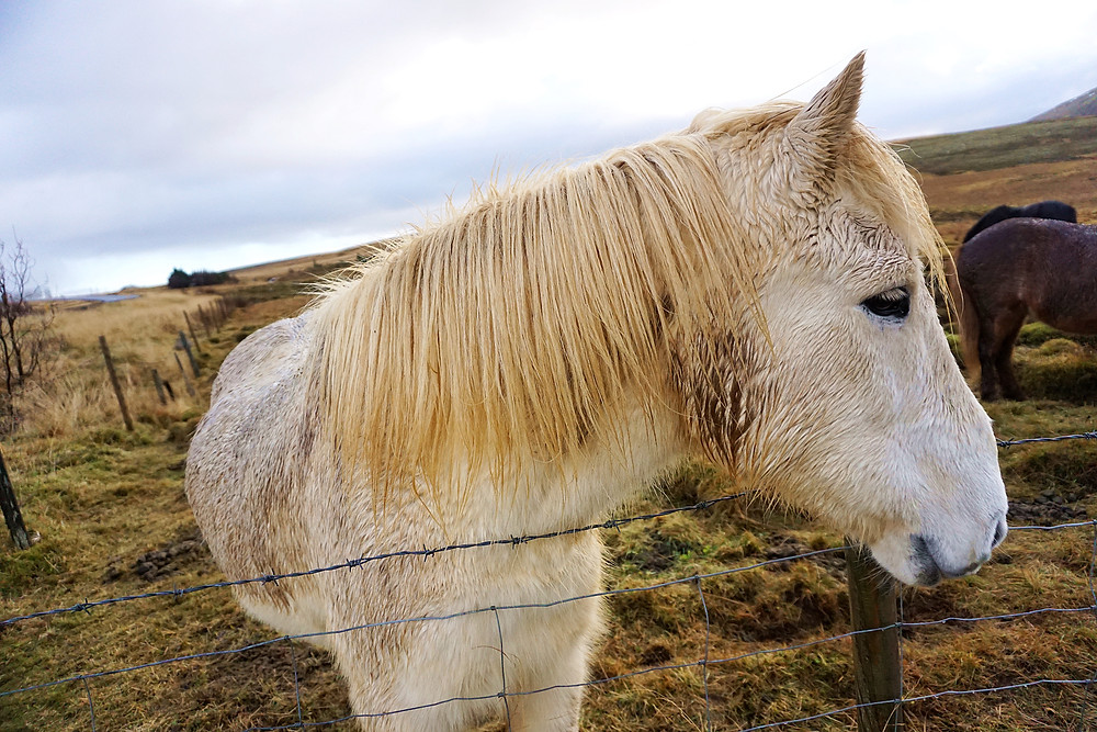 Beautiful Icelandic horse and its hair.