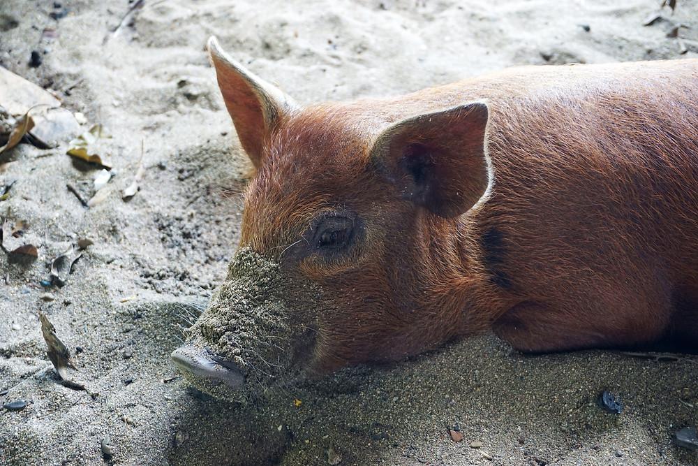 Cute piggy.