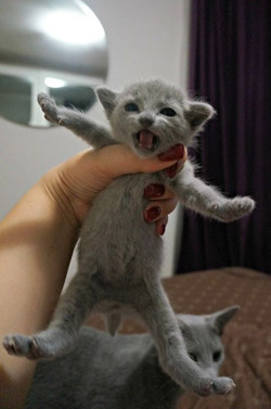 russian blue available