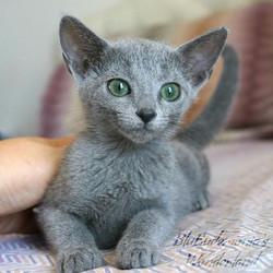 gattini blu di russia