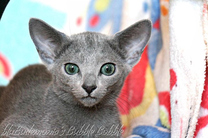 russian blue cattery