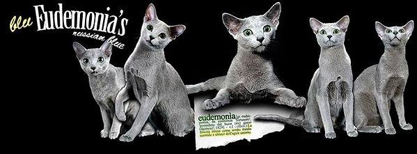 blu di russia allevamento cuccioli gatti disponibili blueudemonia's