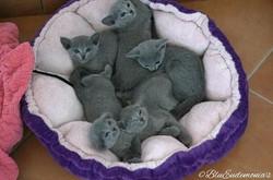 cuccioli blu di russia