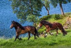 Trygg riding på dølahester i Bergen