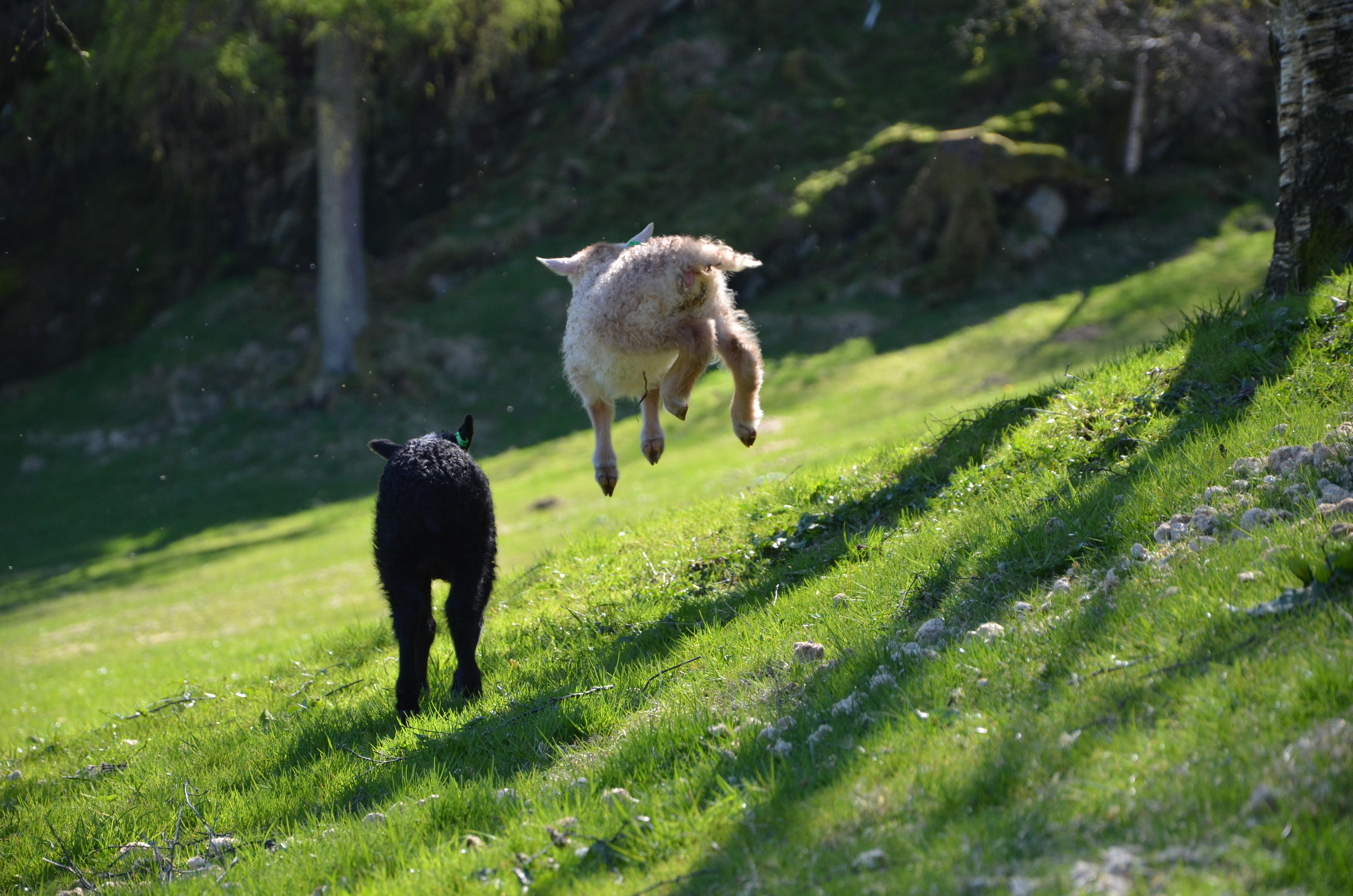 Lam om våren på Øvre-Eide Gård