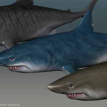 Sharks Textured For Bishop Museum