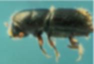 Ips Beetle.PNG