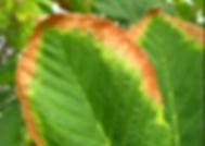 Leaf Scorch.PNG
