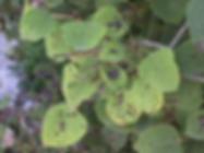 Aspen Leaf Spot.PNG