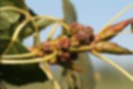 Poplar Bud Gall Mite.PNG